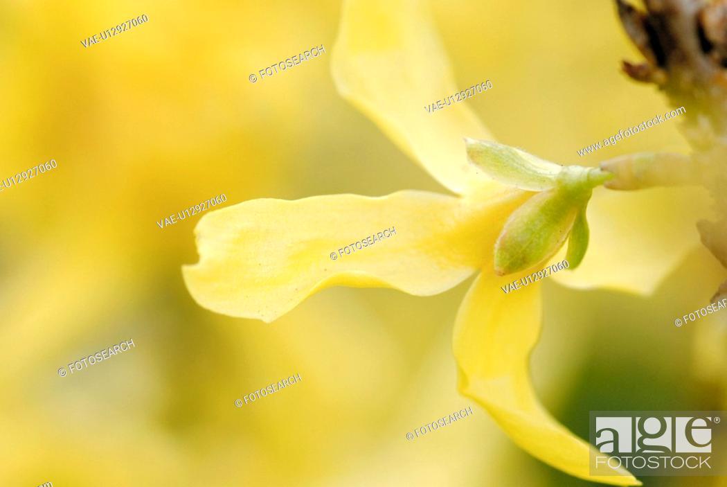 Stock Photo: flower, forsythia, flora, paint, atmosphere.