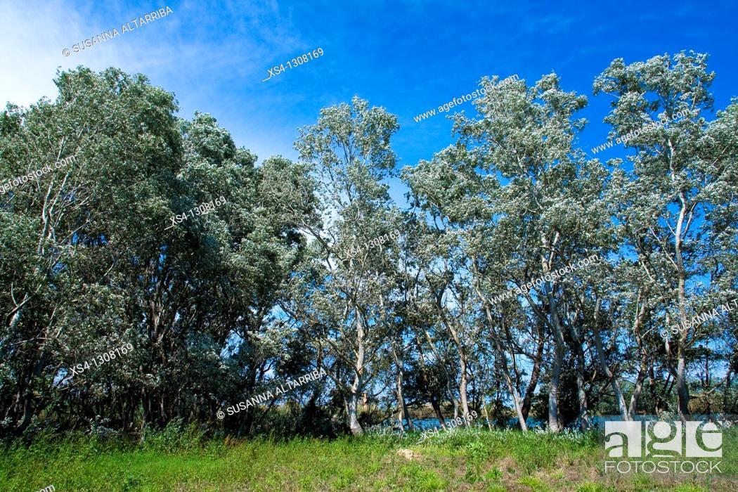 Stock Photo: White Poplar (Populus alba) grove, Ebro River Delta, Tarragona Province, Catalonia, Spain.