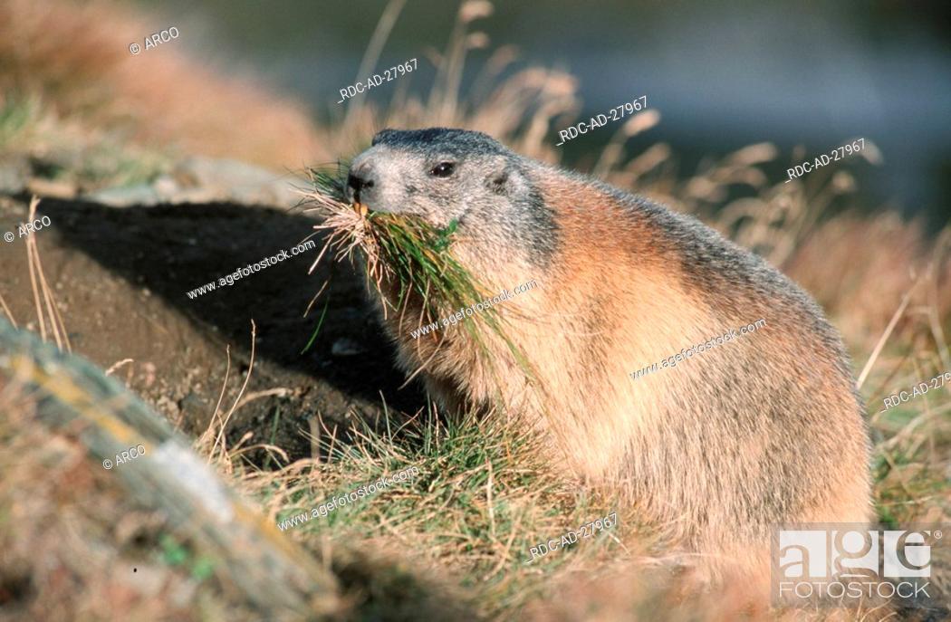 Stock Photo: Alpine Marmot making hay national park Hohe Tauern Austria Marmota marmota Alps.