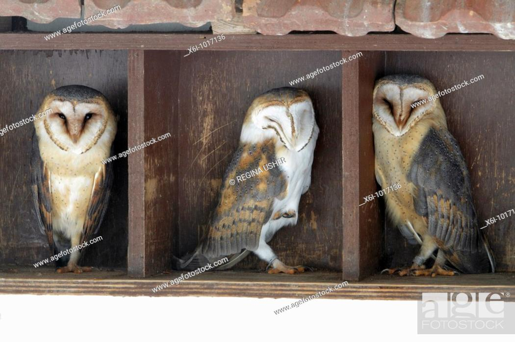 Stock Photo: Barn Owl, Tyto alba, three resting during daytime, in building, Germany.