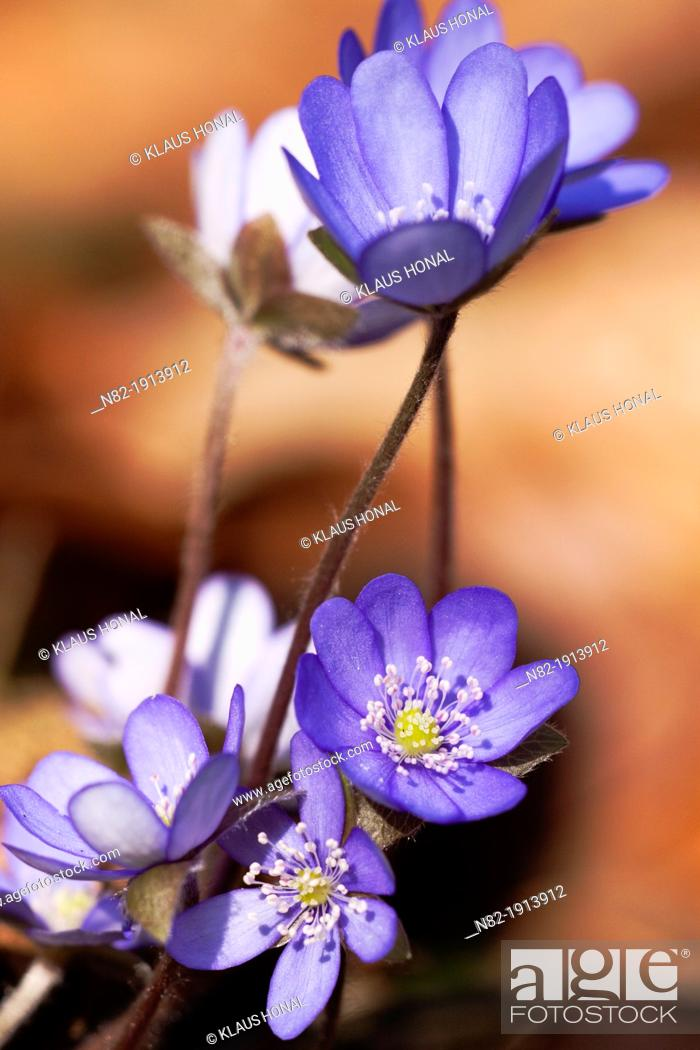 Stock Photo: Liverworts Hepatica nobilis grows on calcareous soil in a deciduous forest - Naturpark Altmuehltal, Bavaria/Germany.