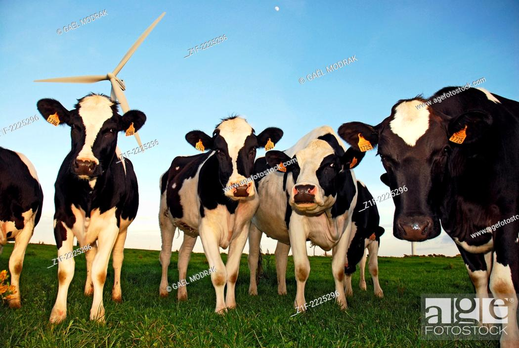 Stock Photo: Group of Prim'Holstein caws in front of a wind turbine in Brittany, France.