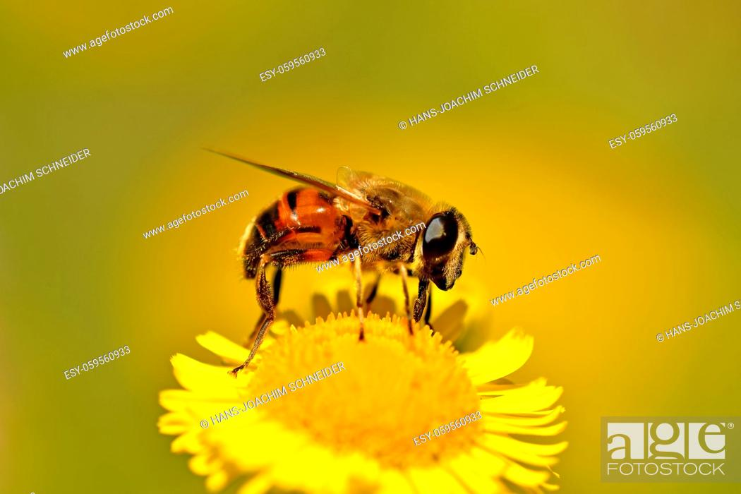 Stock Photo: Drone fly, hoverfly on yellow flower.