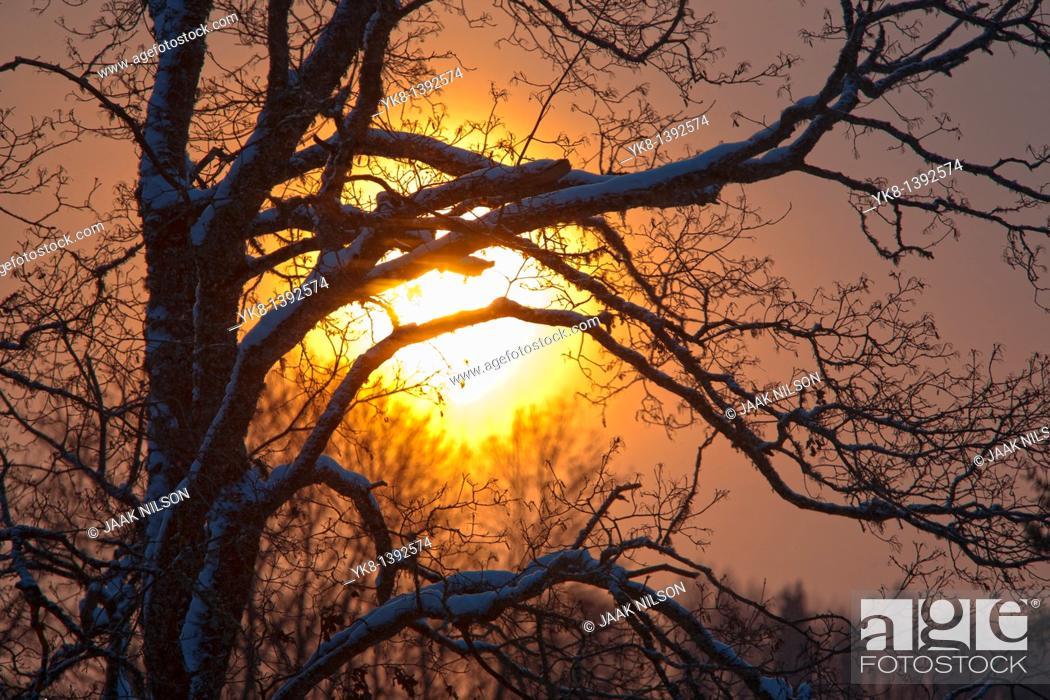 Photo de stock: Tree Branches Silhouette against Sun.