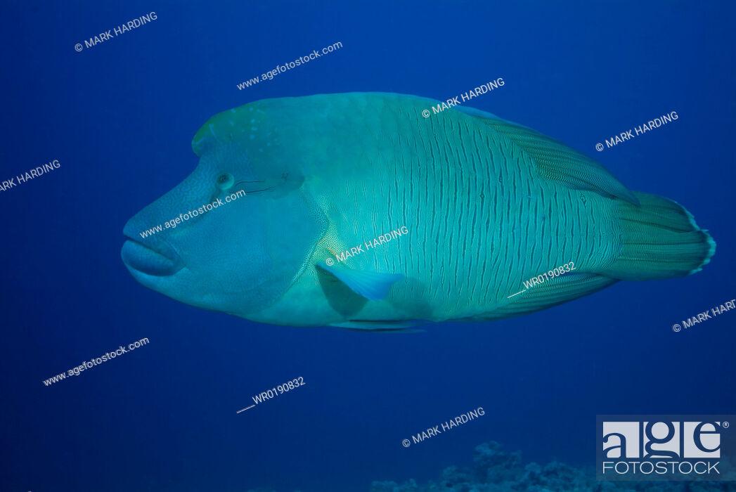 Imagen: Napoleon Wrasse Cheilinus undulatus Red Sea.