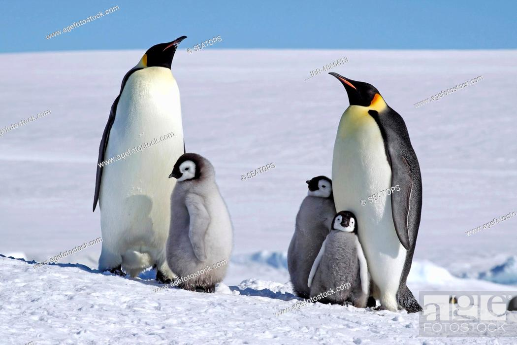Stock Photo: Emperor penguins (Aptenodytes forsteri), penguin colony in the ice, old animals with young, Antarctica.