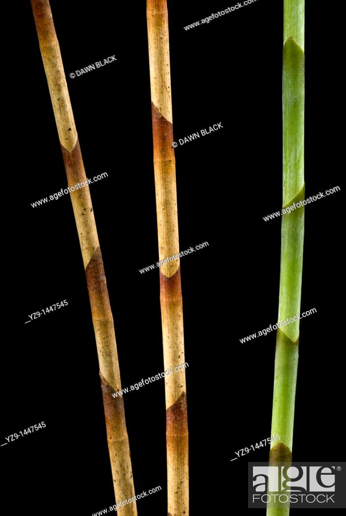Stock Photo: Three Ginger Stems Zingiber.