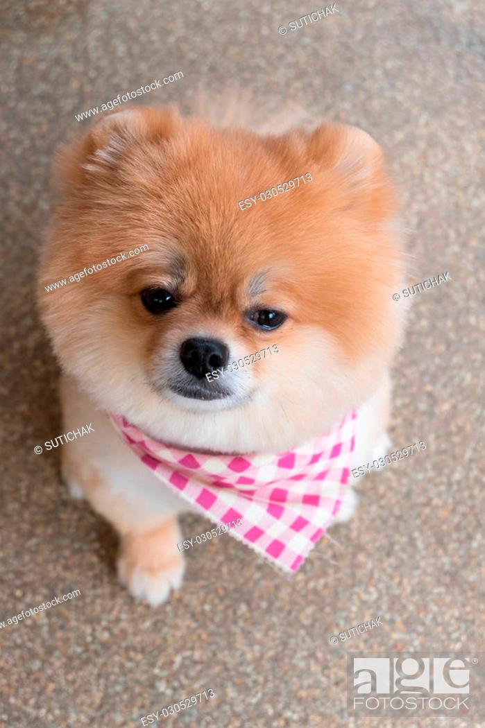 Pomeranian Puppy Dog Grooming With