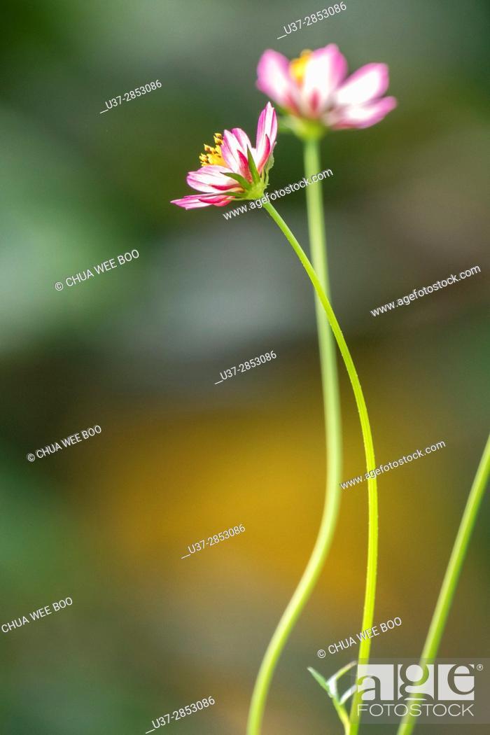 Stock Photo: Flowers. Badul homestay, Sarawak, Malaysia.