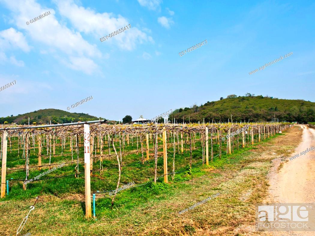 Stock Photo: Wine yard in Nakorn Ratchasima, Thailand.