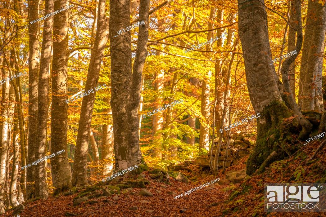 Stock Photo: Beech trees in a forest, autumn in Italian Appennines. Bologna, Emilia Romagna, Italy.