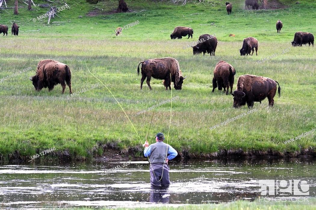 Stock Photo: A fly fisherman seemingly is fishing for bison along the firehole river at Yellowstone National park, wyoming.