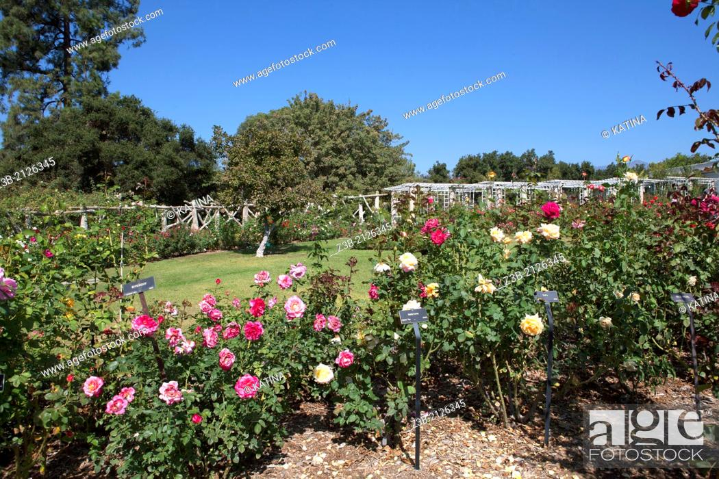 Stock Photo: Hybrid tea roses in bloom at the Huntington Gardens and Library, San Marino, California, USA.