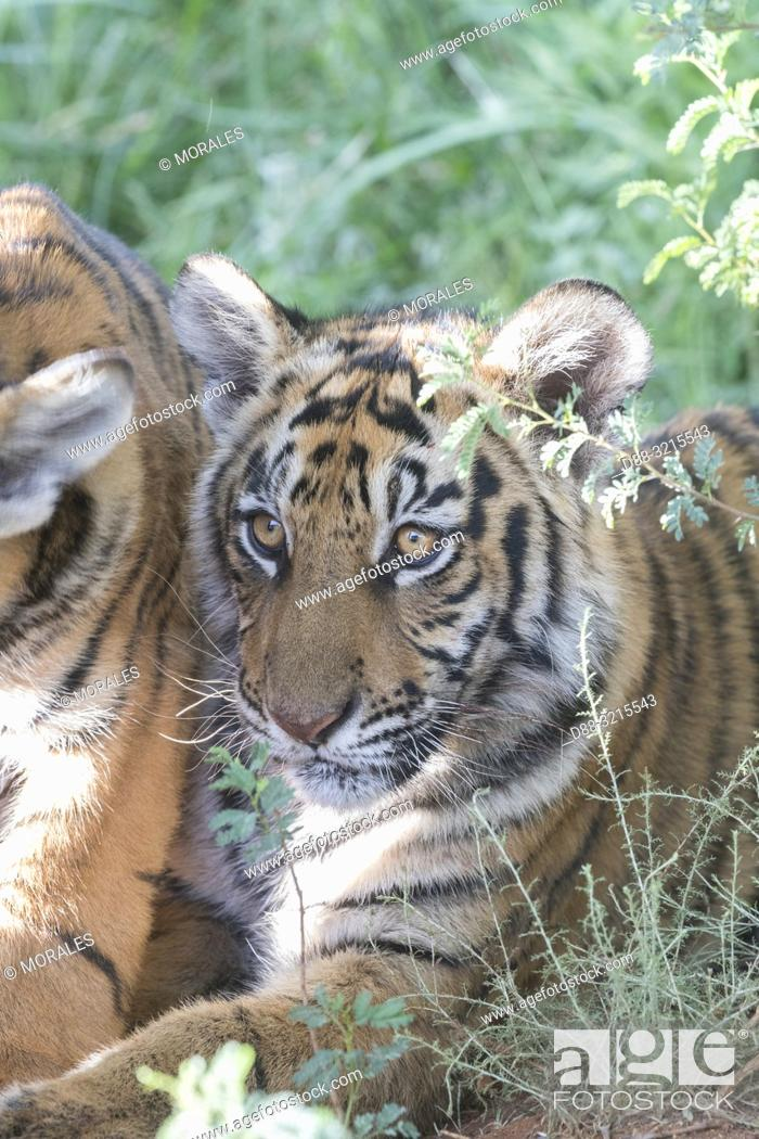 Stock Photo: South Africa, Private reserve, Asian (Bengal) Tiger (Panthera tigris tigris), young 6 months old, resting.