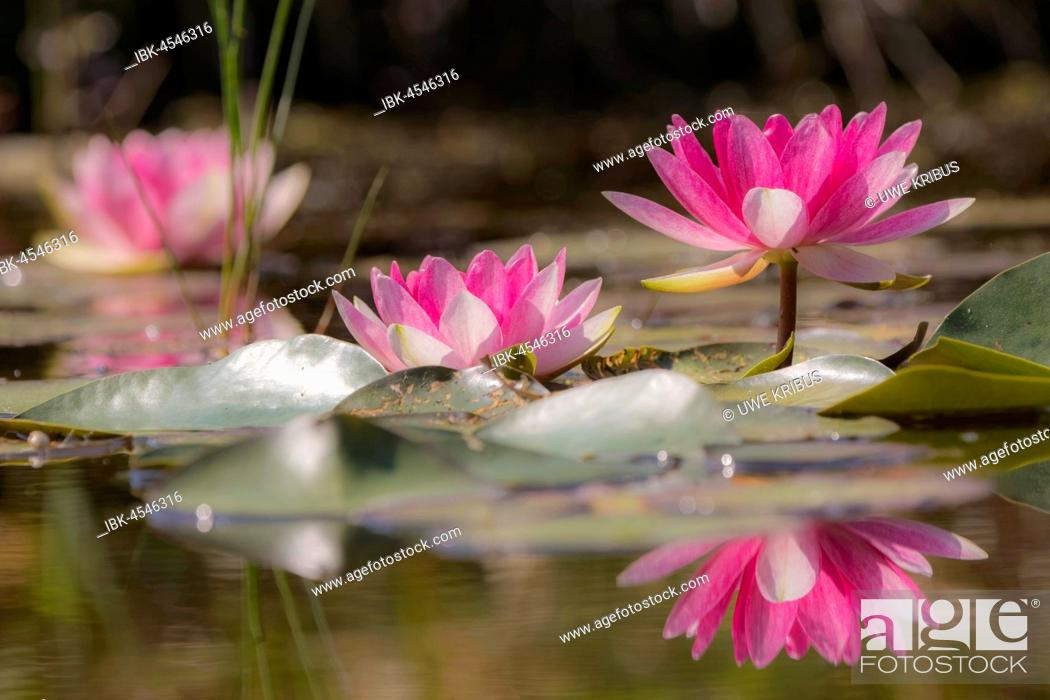 Stock Photo: Water lilies (Nymphaea), reflection, garden pond, Oelsnitz in the Vogtland, Saxony, Germany.