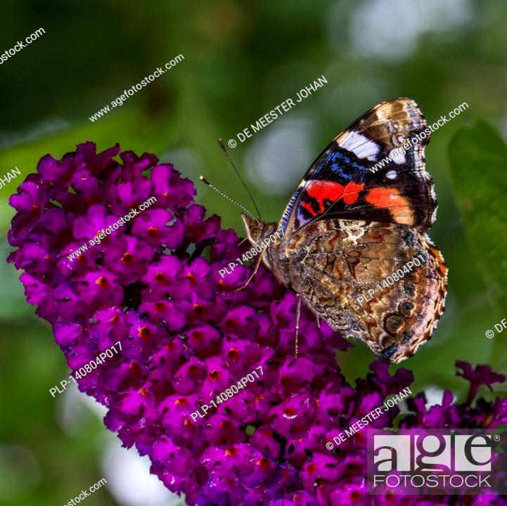 Stock Photo: Red Admiral (Vanessa atalanta) butterfly on summer lilac (Buddleja davidii / Buddleia davidii) in flower.