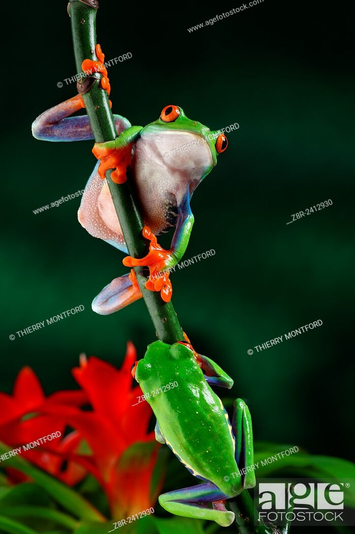 Stock Photo: Agalychnis callidryas. Red eyed tree frogs on a little branch. Costa Rica.