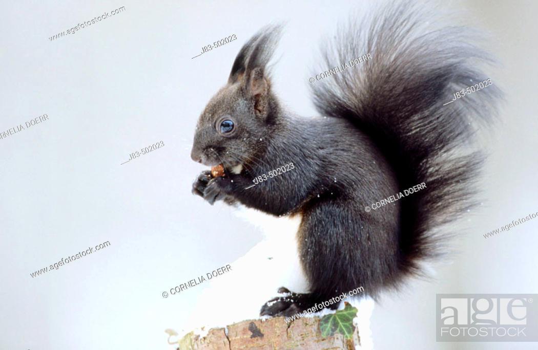 Stock Photo: Red Squirrel (Sciurus vulgaris).