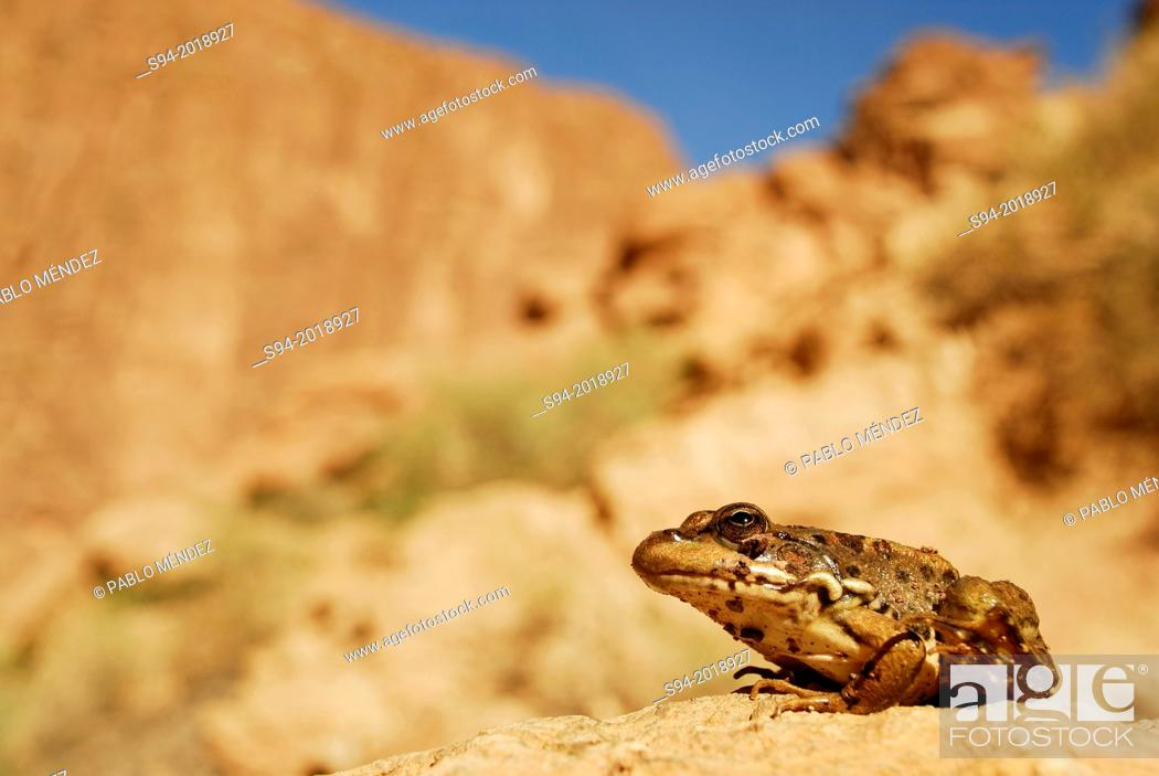 "Stock Photo: Common saharian frog """"Pelophylax saharicus"""" near Tizguit in Todra gorge, Morocco."