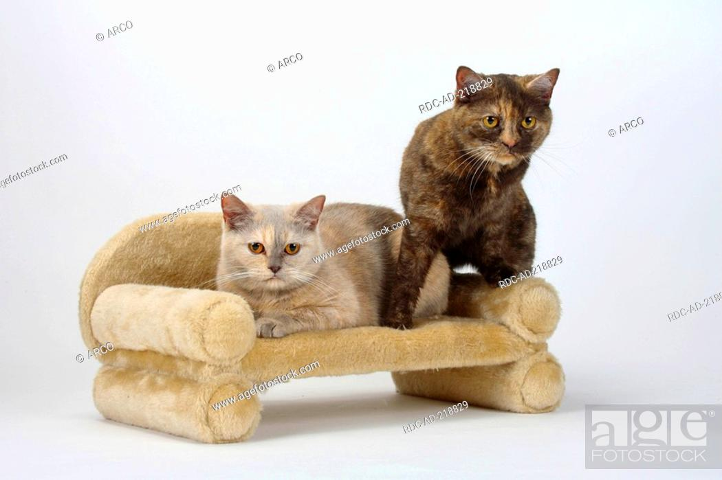 British Shorthair Cats Lilac Tortie And Chocolate Tortie Stock Photo Picture And Rights Managed Image Pic Rdc Ad 218829 Agefotostock