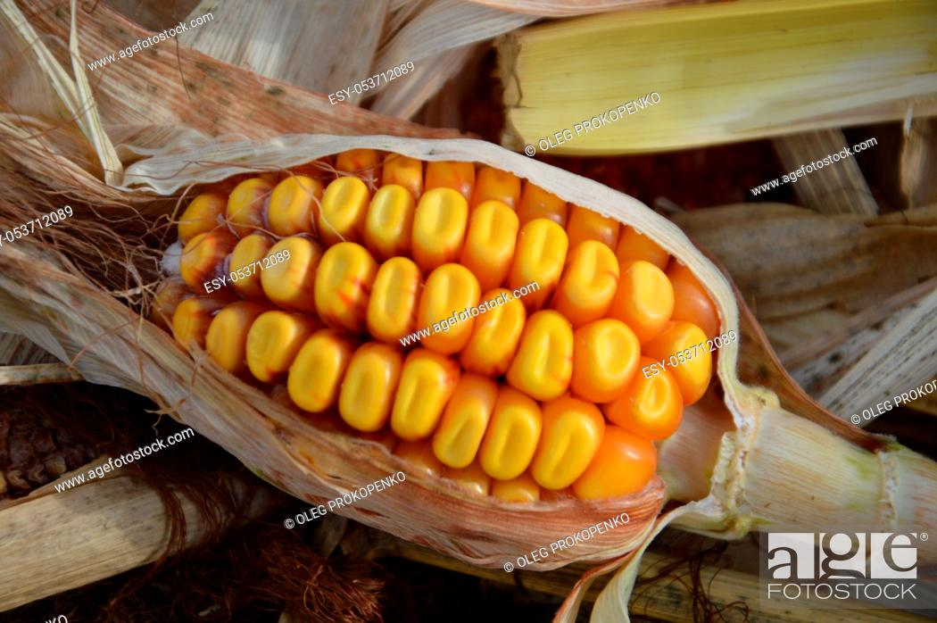 Stock Photo: Kachan and seeds of fodder the autumn corn.
