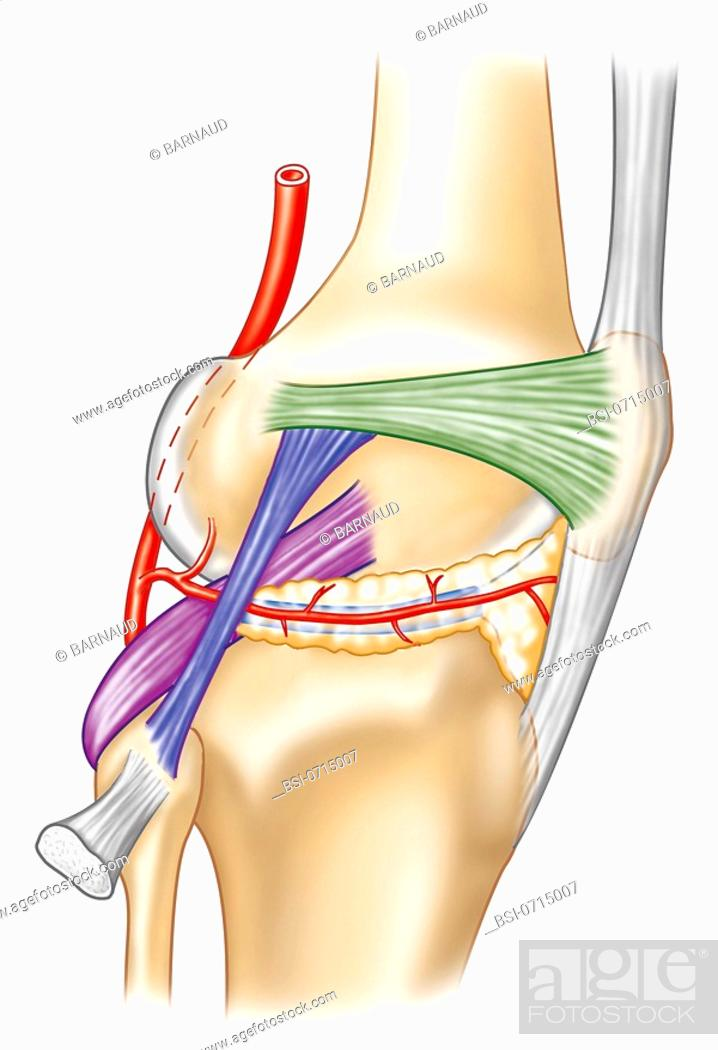 Knee Ligaments On The Right In White The Patellar Ligament In