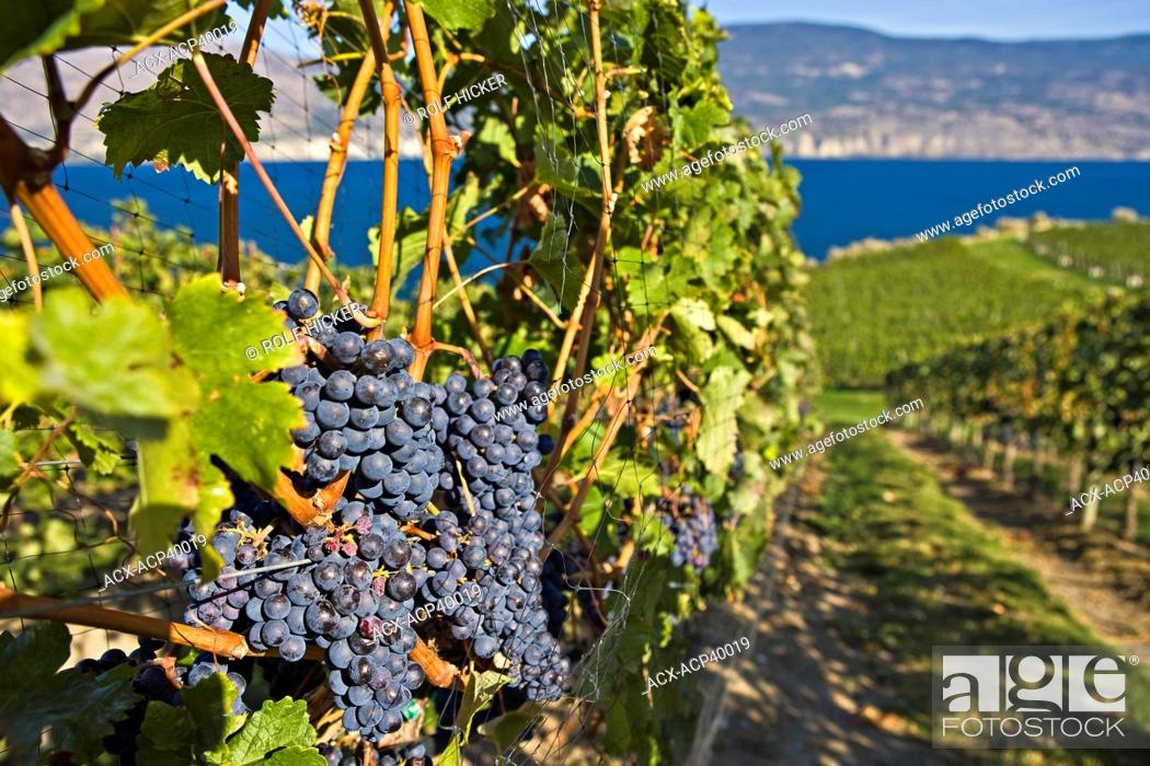 Stock Photo: Clusters of grapes growing on grapevines at Bonitas Winery, Summerland, Okanagan-Similkameen Region, Okanagan, British Columbia, Canada.