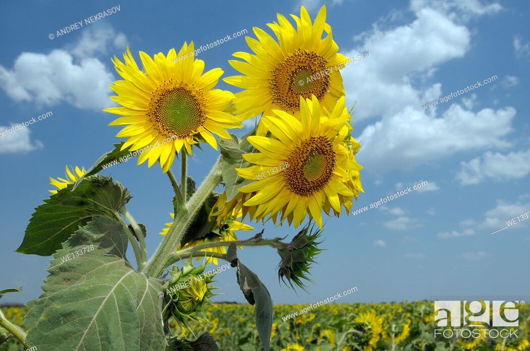 Stock Photo: Sunflower (Helianthus annuus), sunflower field, Odessa, Ukraine, Eastern Europe.