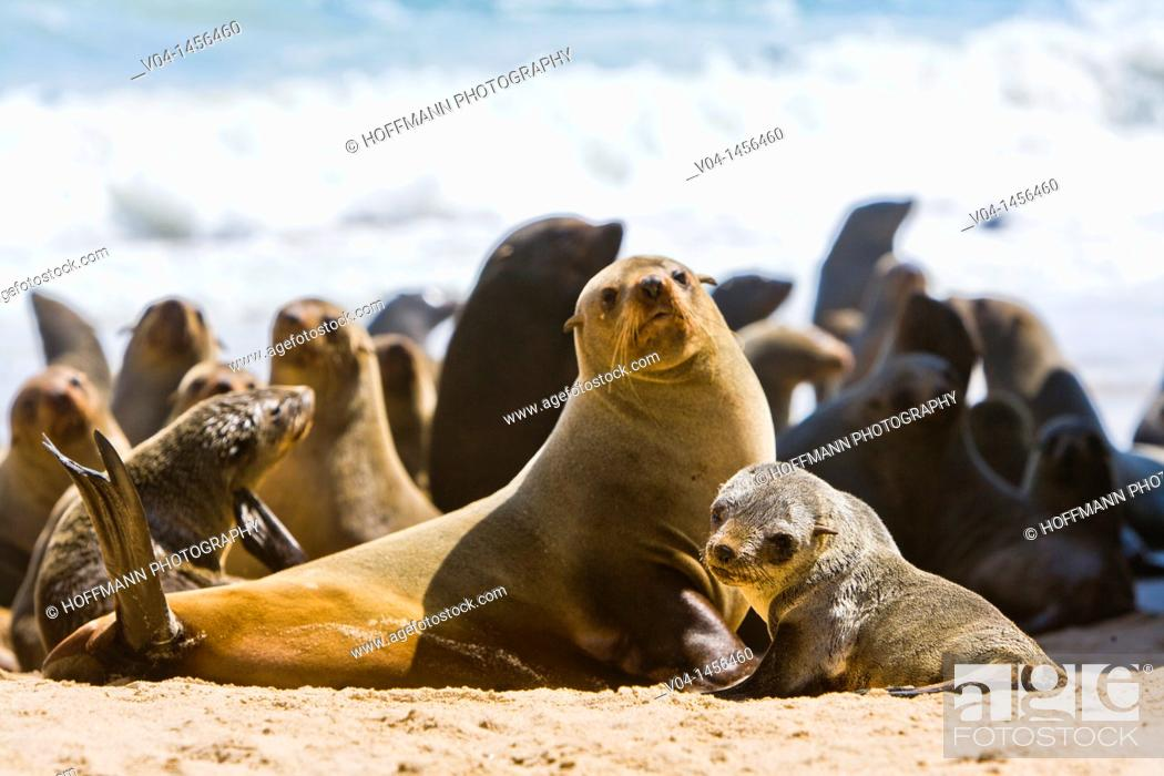 Stock Photo: A cape fur seal mother (Arctocephalus pusillus) with its offspring on the shore, Namibia, Africa.