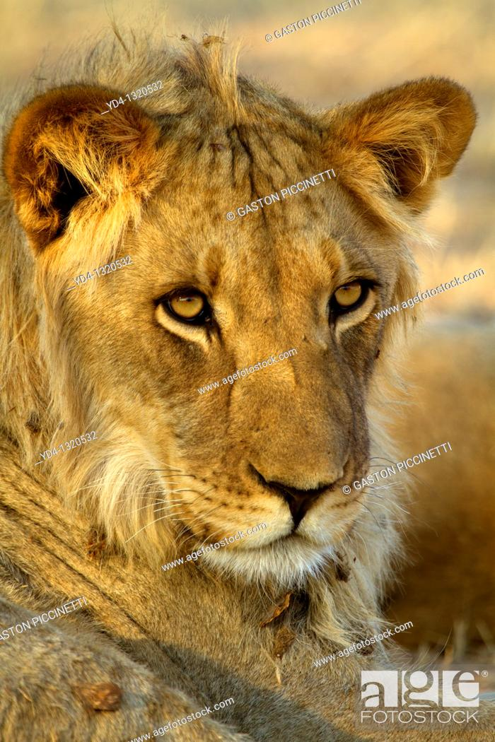 Stock Photo: African Lion Panthera leo - Young, Kgalagadi Transfrontier Park, Kalahari desert, South Africa.