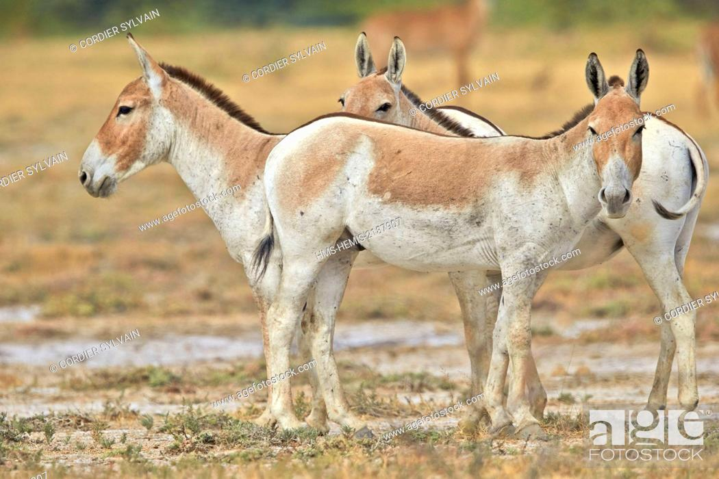 Stock Photo: India, Gujarat state, Little Rann of Kutch, Wild Ass Sanctuary, Indian wild asses (Equus hemionus khur), Khur.