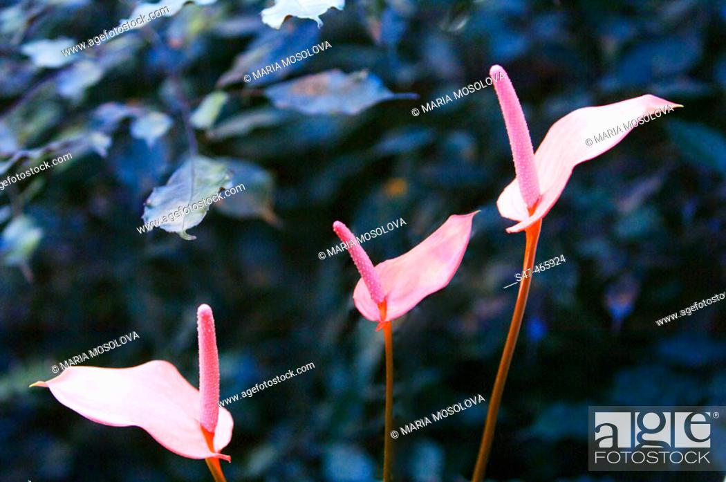 Stock Photo: Anthurium andreanum. October 2005, Maryland, USA.