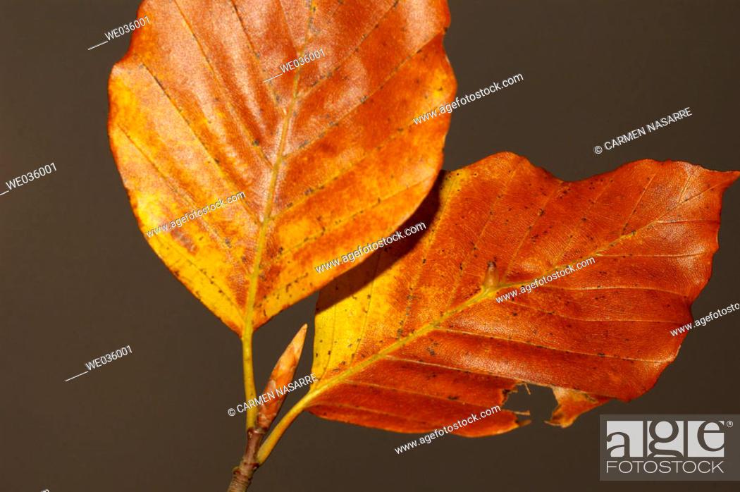 Stock Photo: Fagus sylvatica leaves.