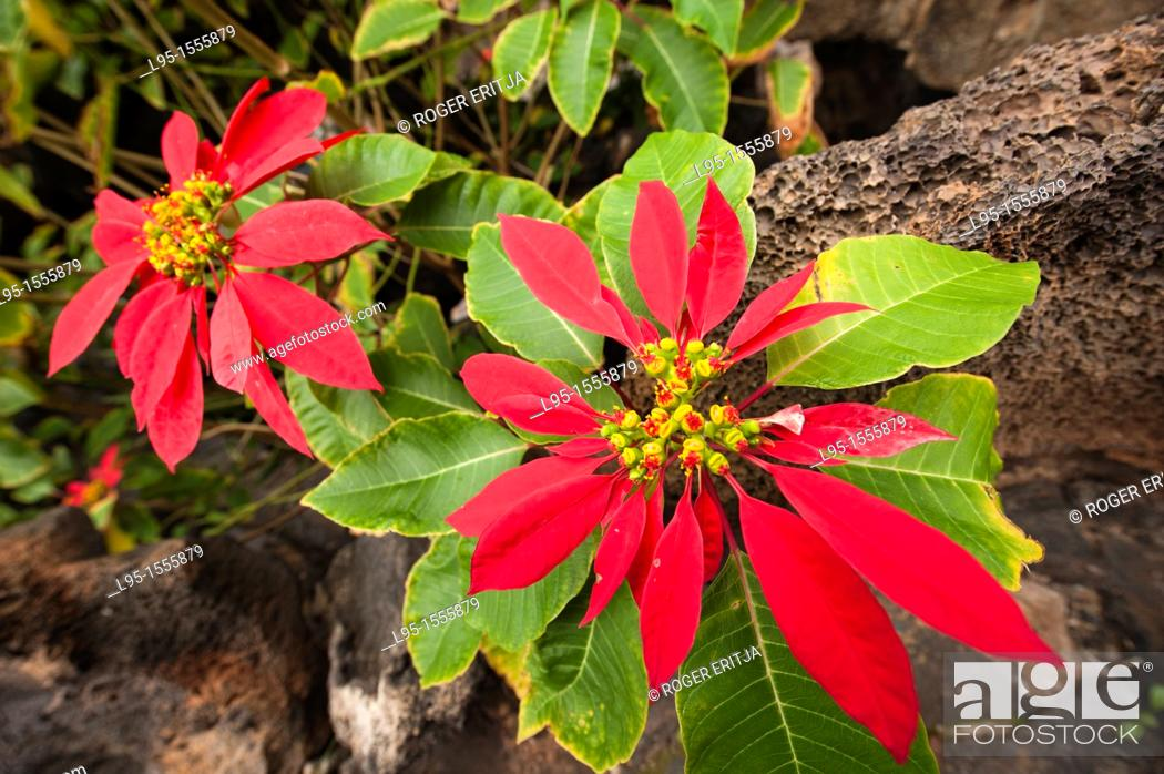 Imagen: Poinsettia Euphorbia pulcherrima, Lanzarote, Canary Islands, Spain.