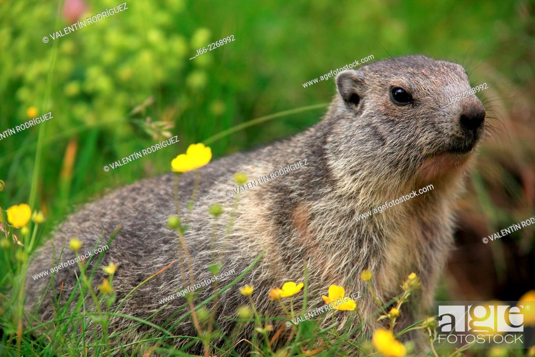 Stock Photo: Whistler (Marmota marmota), National park Gran Paradiso, Italy.