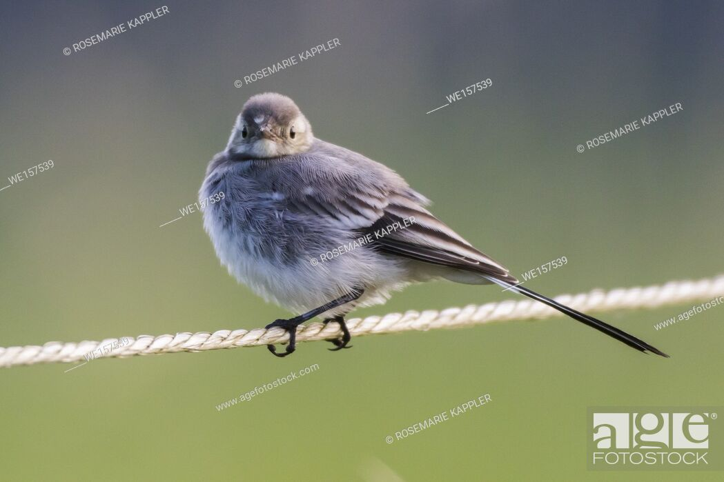 Stock Photo: Germany, Saarland, Homburg - A white wagtail on a field is searching for fodder.