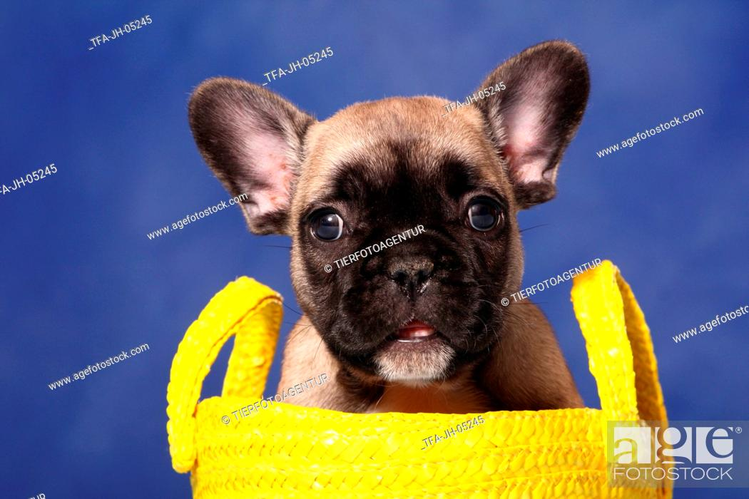 Stock Photo: French Bull Puppy in bag.