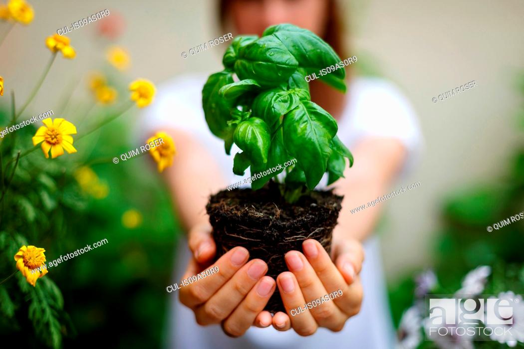 Stock Photo: Cropped view of woman holding basil plant in cupped hands.