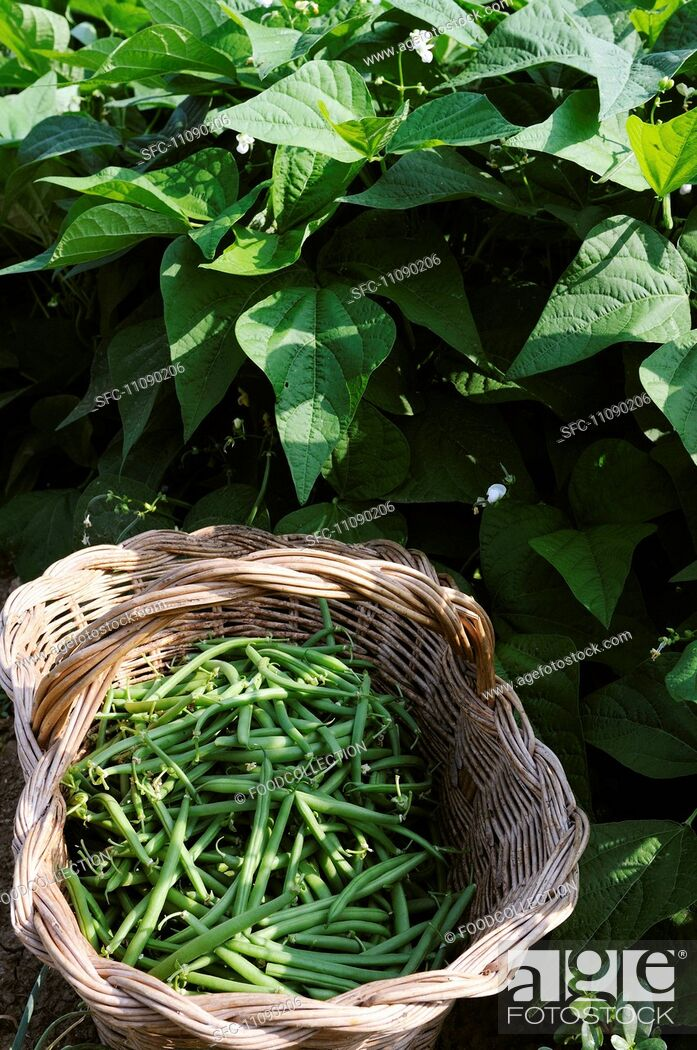 Stock Photo: A basket of freshly harvested green beans.