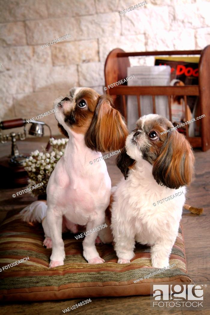 Stock Photo: posed, domestic, pose, house pet, canines, shih tzu.