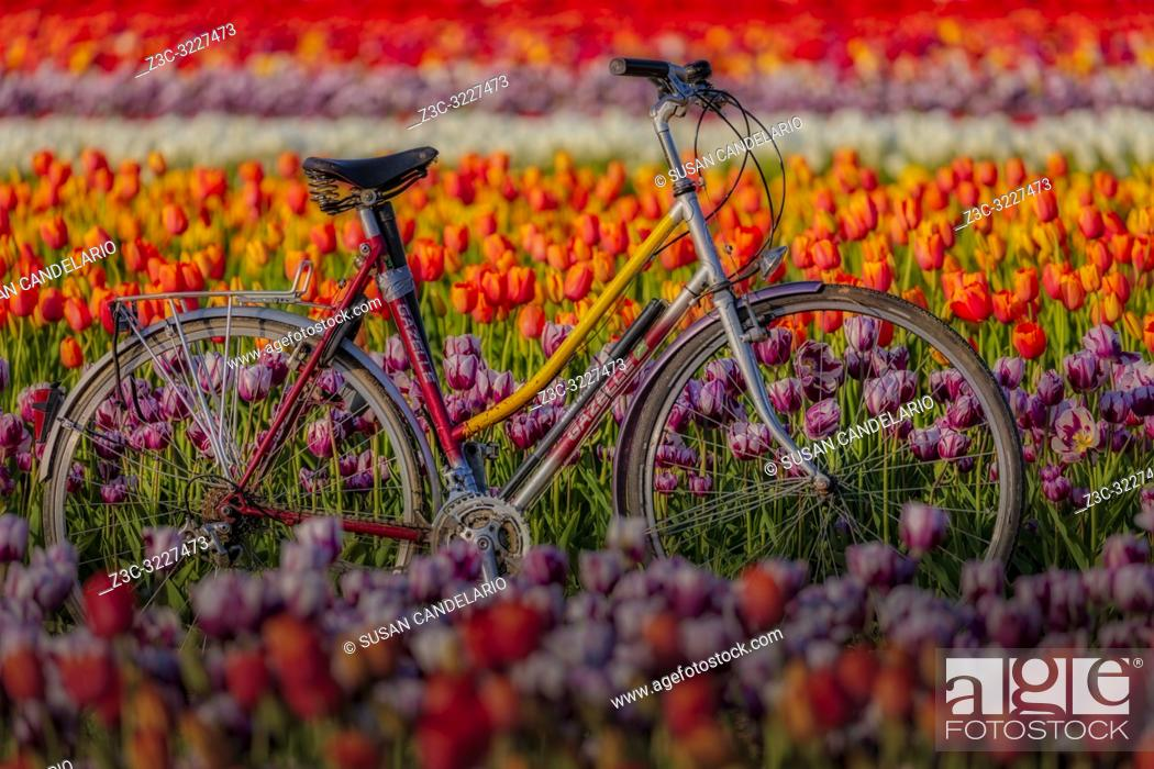 Stock Photo: Spring Tulips and Bicycle - Old Gazelle bicycle surrounded by thousands of beautiful colorful tulips in the farm during the golden hour. .