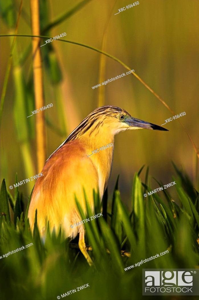 Stock Photo: Squacco Heron Ardeola ralloides in the Danube Delta Europe, Eastern Europe, Romania, 2006.