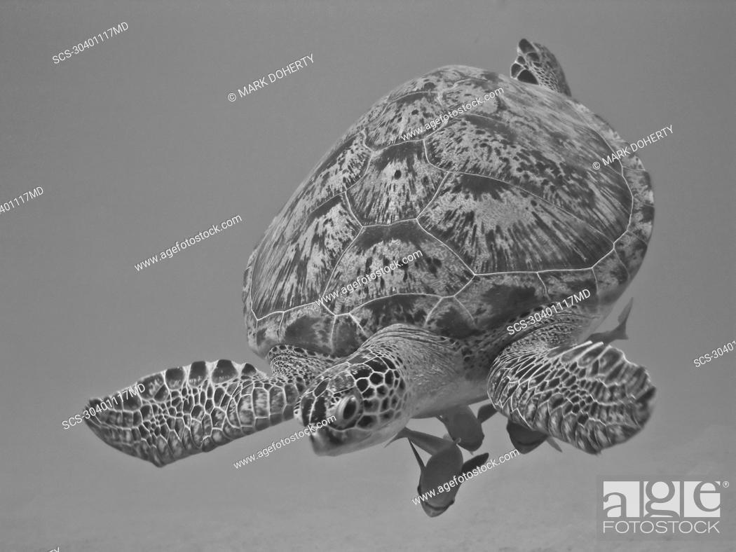 Stock Photo: Green turtle Chelonia mydas with Striped remora Echeneis naucrates Species endangered Na'ama Bay, Sharm El Sheikh, South Sinai, Red Sea, Egypt rr.