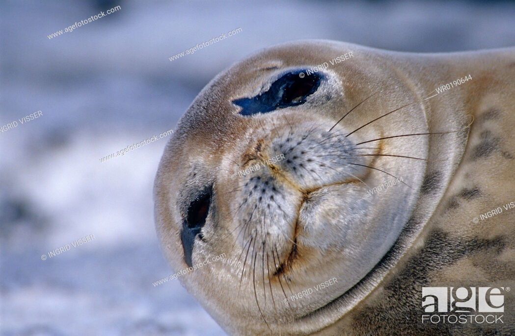 Imagen: Weddell seal Leptonychotes weddelli Close up of head Antarctic Peninsula, Southern Ocean.