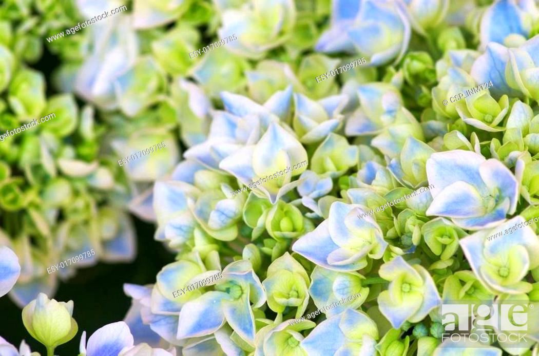 Stock Photo: aqua and green hydrangea.