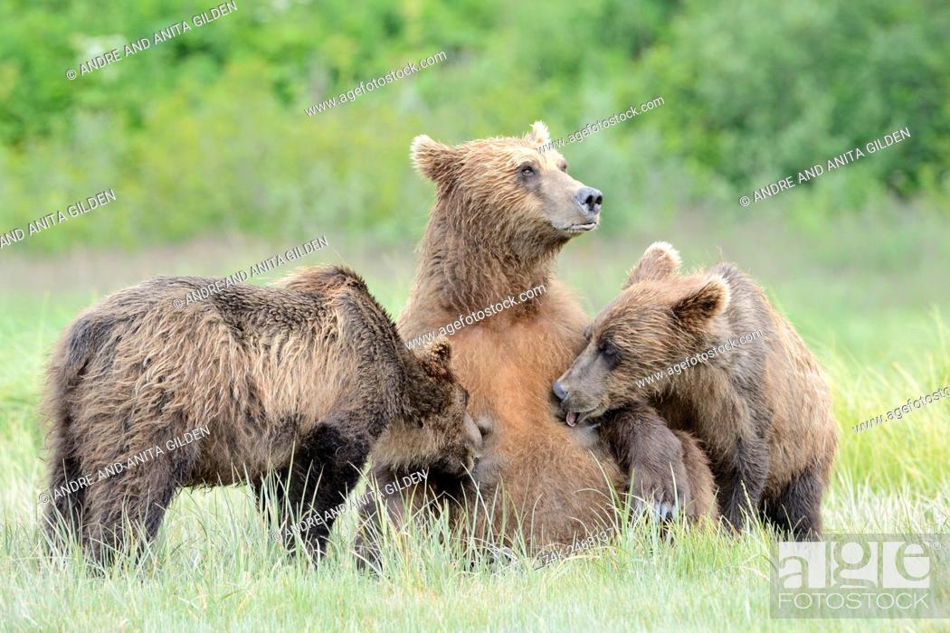 Stock Photo: Grizzly Bear ( Urus arctos horribilis) lactating at their mother, Katmai national park, Alaska, USA.
