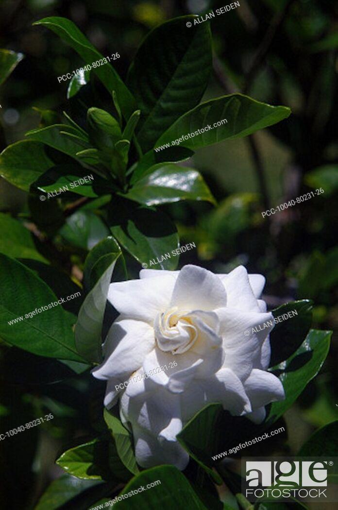 Stock Photo: Beautiful white gardenia among green leaves.
