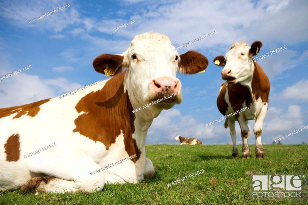 Stock Photo: Cows grazing in Denmark.