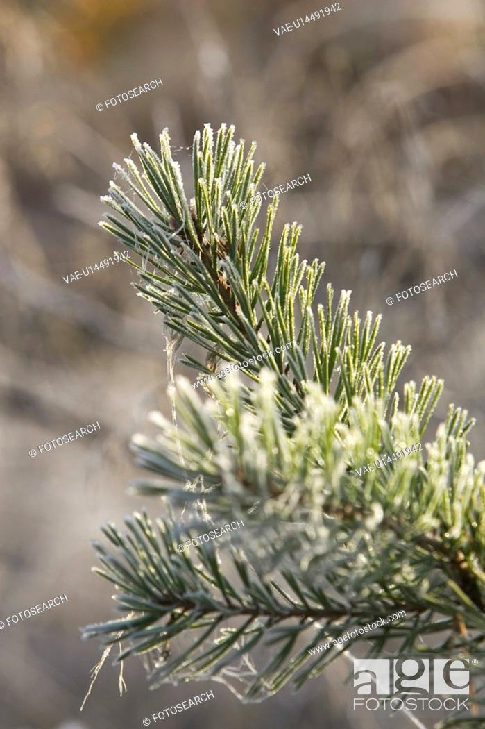 Stock Photo: Close-Up, Cobweb, Coniferous Tree, Day, Evergreen Tree.
