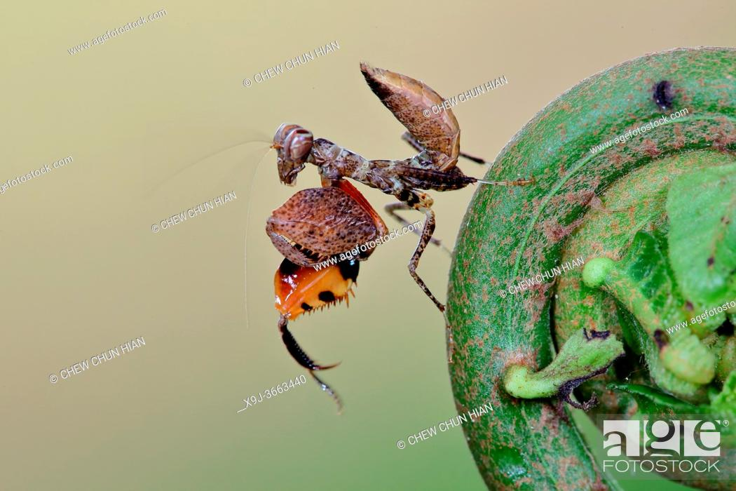 Stock Photo: Mantis in action, asia.